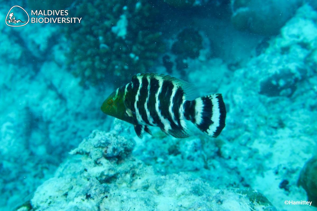 Details about  /Banded Maori Wrasse Cheilinus fasciatus Fish Taxidermy Oddities